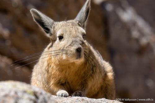 Rabbit portrait - Photography workshop in Bolivia