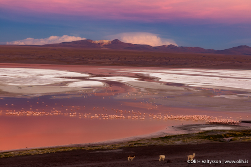 Laguna Colorada with flamingos and goats. The salt lake contains borax.